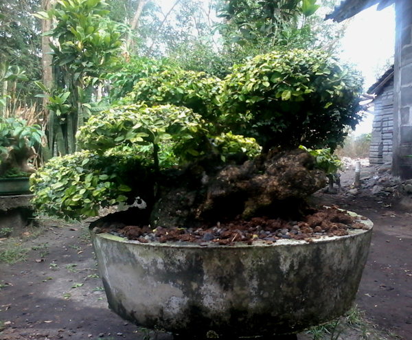 Bonsai Serut Tree With Stone Pots