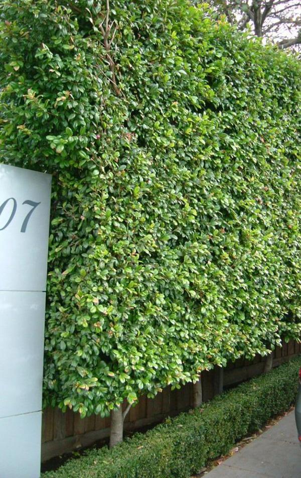 boxwood-plant-fence-ideas