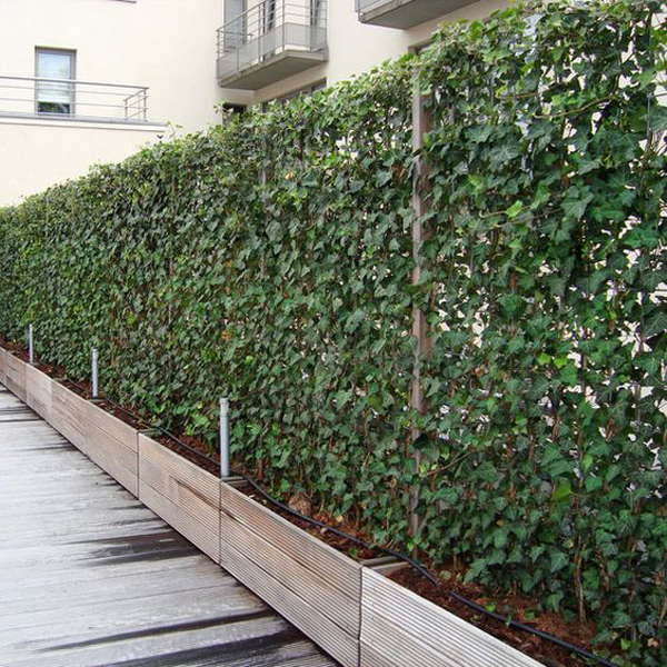 english-ivy-for-vines-garden-fence