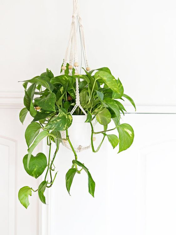 golden-pothos-plant