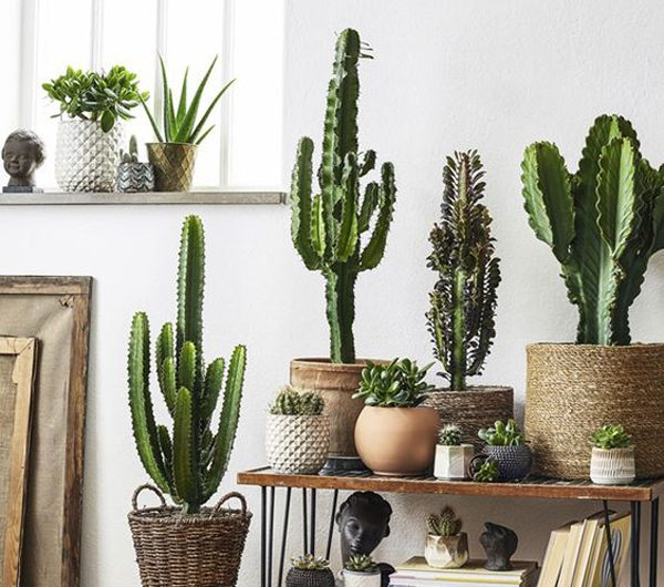 10 Inspiring Indoor Cactus Plants That Easy