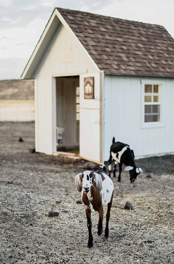 eye-catching-goat-house-design
