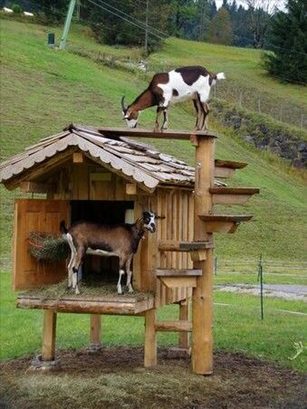 goat-playground-ideas-made-from-pallet