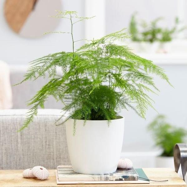 indoor-asparagus-fern-plant-decor
