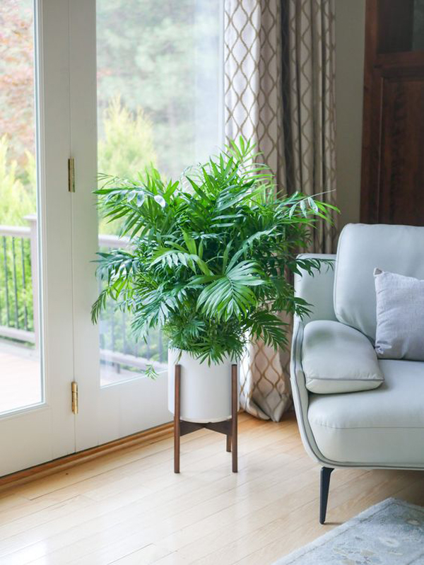 indoor-parlor-palm-plants-with-ceramic-and-wood-stand